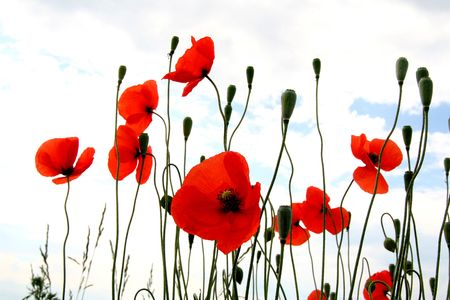 Wild red poppies with clouds  and sky photo