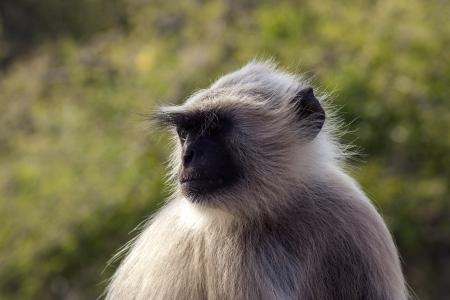 hanuman langur: Closeup of alpha male of gray langur  Hanuman langur , Jaipur India