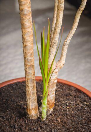 Sapling of Dracaena loureirii and soil in the pot.