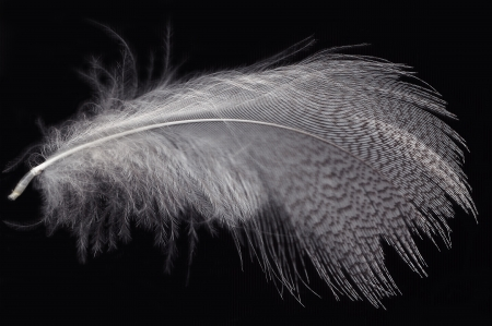 white feather on black photo