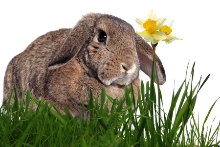 Adorable rabbit in green grass with yellow spring daffodils isolated on white photo