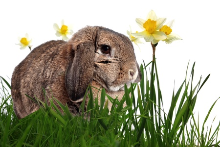 ear buds: Adorable rabbit in green grass with yellow spring daffodils isolated on white Stock Photo