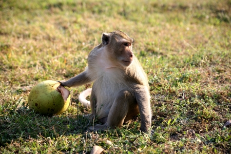 monkey nuts: monkey with coconut