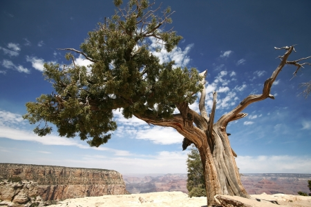 rock canyon: tree in Grand Canyon, Arizona, USA