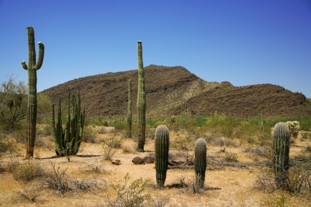 Cactus in Organ Pipe National Monument, Arizona, USA photo