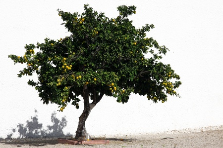 oranges tree photo