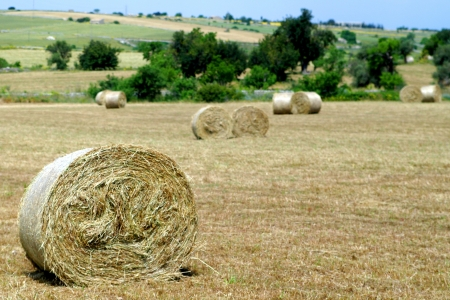 Rural field with circular hay bales photo