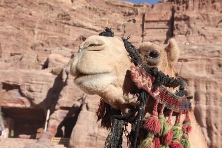caved: Camel in Petra , Jordan