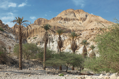 Pamls at Mt in national park Ein Gedi near the Dead Sea in Israel  photo
