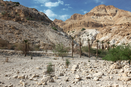 ein: Pamls at Mt in national park Ein Gedi near the Dead Sea in Israel