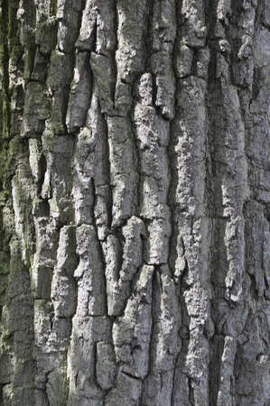 The bark of an old tree. Texture. Foto de archivo
