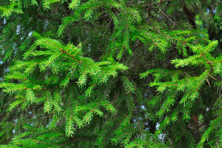 Green branches of spruce. Background