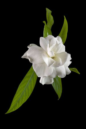 Gardenia flower with leaves isolated on black photo