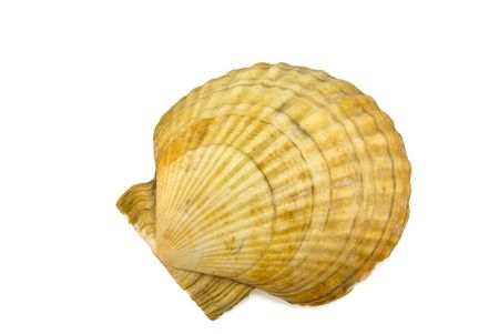 mollusk: Prepared mollusk shell isolated on white with shadow