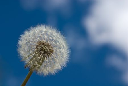 blowball: Close-up of blowball against blue sky