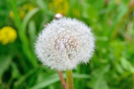 Single dandelion flower in a green grass photo