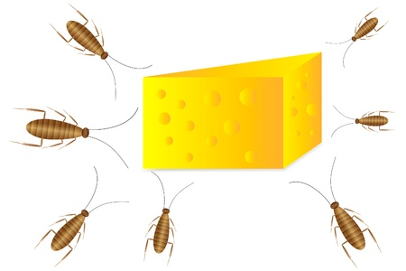infestation: Cockroaches and cheese on white background