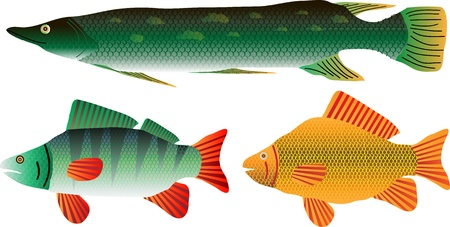 fauna: Set of the pike, carp and perch isolated on white background  Illustration