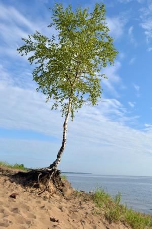 Birch tree on a cloud sky background photo