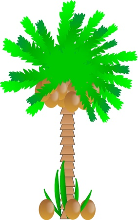 Palm tree with coconuts on white background - vector Stock Vector - 10034455