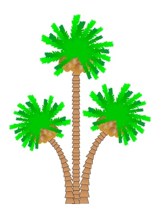 cocos: Palm tree isolated on white background.