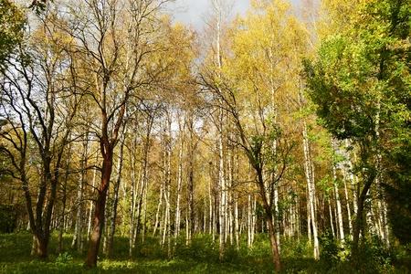Golden birch trees in the Gatchina park. St. Petersburg photo