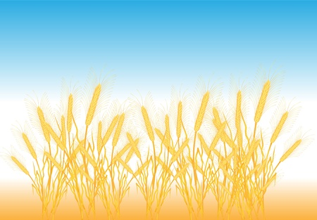 thresh: Maduras espigas amarillas en un campo - vector Vectores