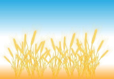 Ripe yellow wheat ears on a field - vector