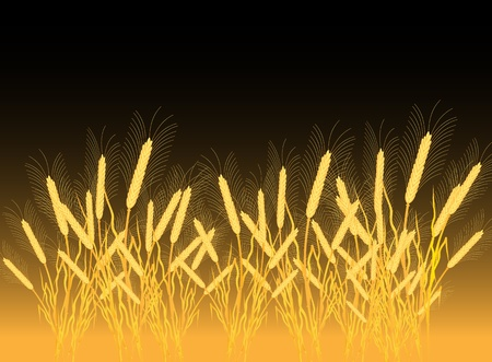thresh: Ripe yellow wheat ears on a field - vector