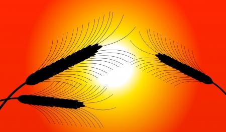 thresh: Espigas de trigo al atardecer - vector
