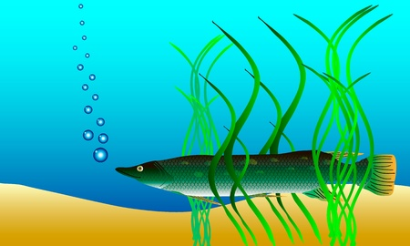 weeds: Underwater landscape - pike hiding in the weeds - vector Illustration