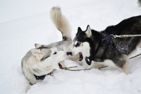 intimidation: Two aggressive dogs on the snow Stock Photo