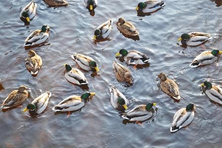 birdwatcher: Wild ducks on the water
