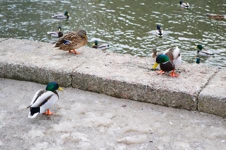 birdwatching: Ducks on the granite embankment