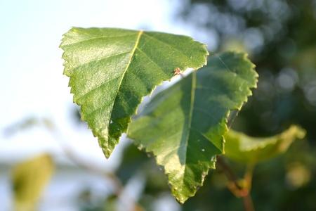 birchen: Birch leafs on a blurred background Stock Photo