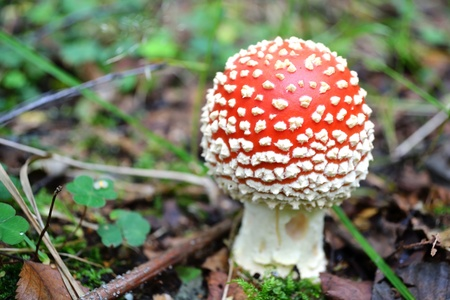 Amanita muscaria on blurred background Stock Photo - 12003249