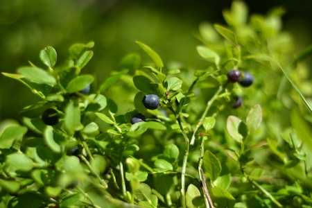 Healthy organic food - wild blueberries (Vaccinium myrtillus) growing in forest photo