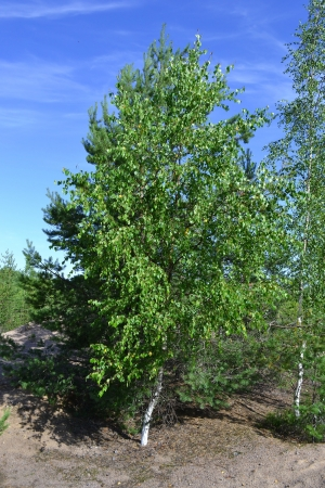 The photo of beautiful birch tree with young foliage photo