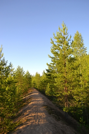 The photo of the young pine forest photo