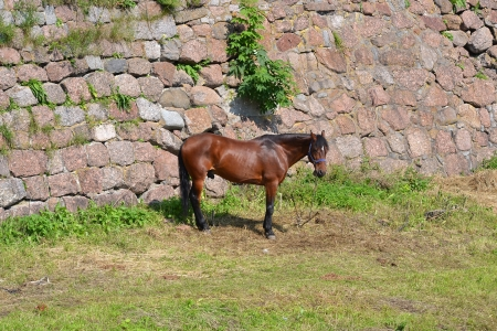 Horse grazing in fortress wall of old Vyborg Castle, Russia photo