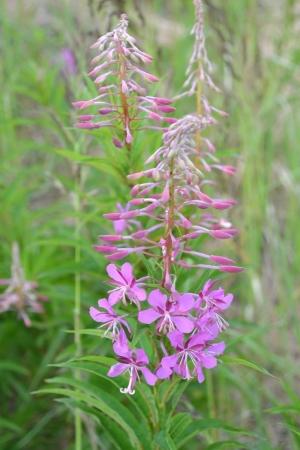 angustifolium: Flowers of fireweed  Epilobium angustifolium   Stock Photo