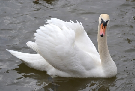 Swan on water in Prague photo
