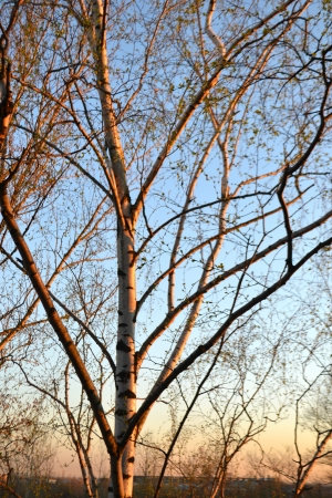 consecrated: Birch consecrated by the setting sun, Russia Stock Photo