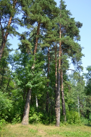 isthmus: Russian nature - pine forest in summer, the Karelian Isthmus Stock Photo