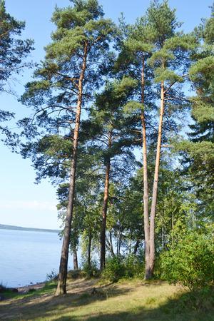 isthmus: Pine forest in summer, the Karelian Isthmus, Leningrad region, Russia.