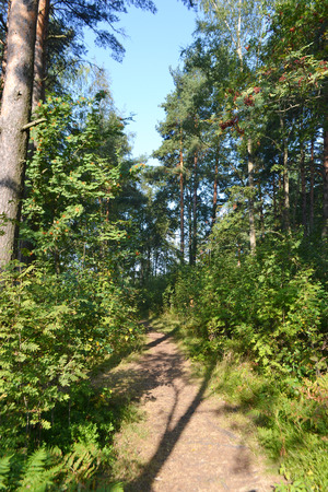 isthmus: The path in the summer forest, the Karelian Isthmus, Leningrad region, Russia.