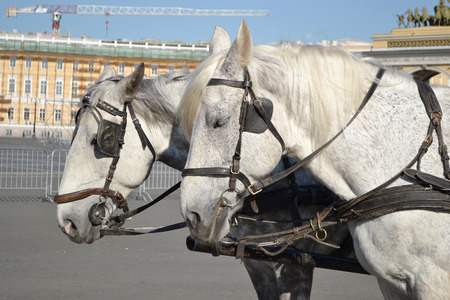 cartage: Portrait of two gray horses.
