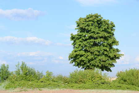broad leaf: Summer landscape standing alone with maple. Stock Photo