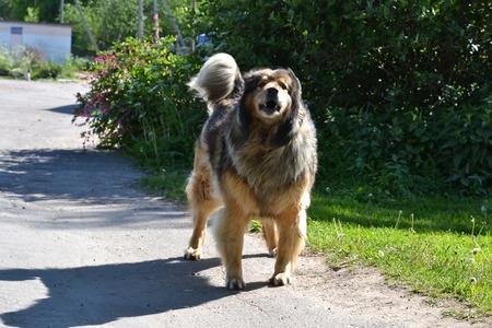 bared teeth: Angry homeless dog growls teeth bared.