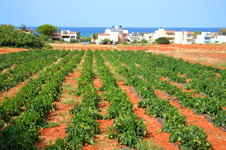mediterranea: Field with pepper plant at summer in Crete, Greece.